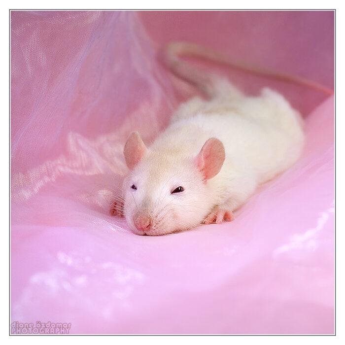 cute rat wallpaper art - photo #17